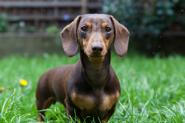 long haired miniature dachshund puppies sale