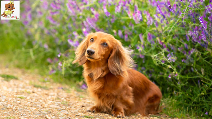 Long Haired Miniature Dachshund Puppies for sale