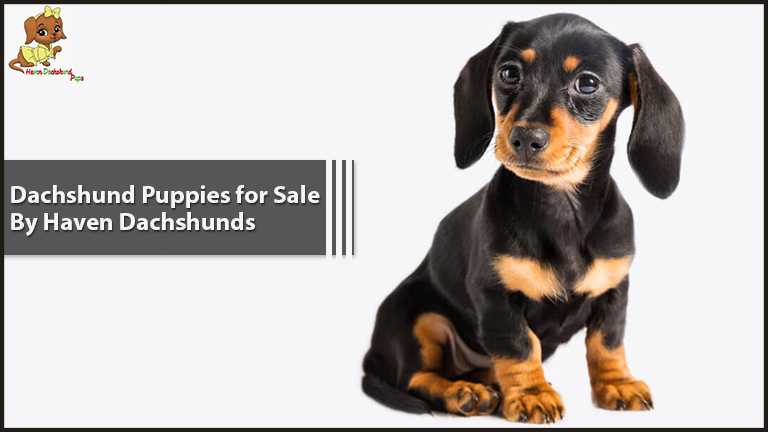 Dachshund Puppies for Sale by Haven Dachshunds