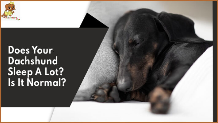 Does Your Dachshund Sleep A Lot? Is It Normal